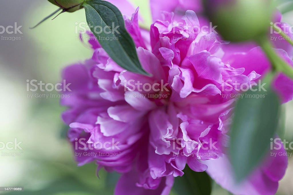 Peony Blossom royalty-free stock photo
