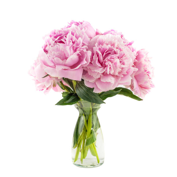 Peony bunch isolated on white background picture id968517082?b=1&k=6&m=968517082&s=612x612&w=0&h=h8i6cla 91lhejrcudsrrm7r2ndmhy9xhhcah0wwe5q=