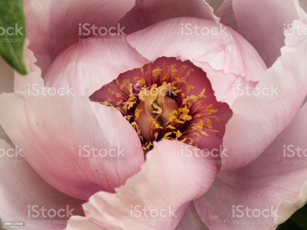 Pion närbild - Royaltyfri Blomkorg - Blomdel Bildbanksbilder