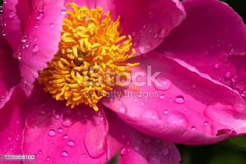 Pink peony petals close-up with water drops (Paeonia officinalis)