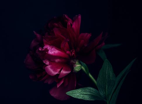 istock Peony, dark toned image 1151527048