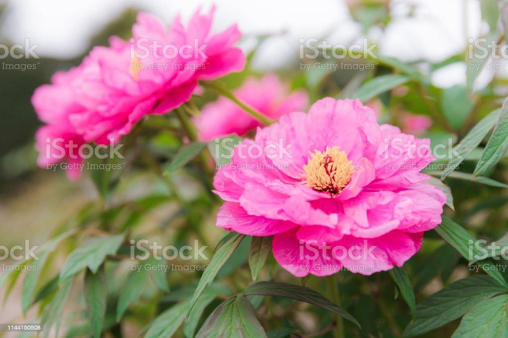 日本庭園の牡丹咲く花 ストックフォト