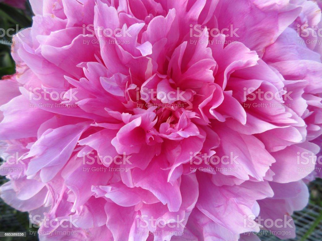 Peony Flower Close-up foto de stock royalty-free