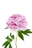 Peony flower. Double pink peony close-up with green leaves isolated on white background