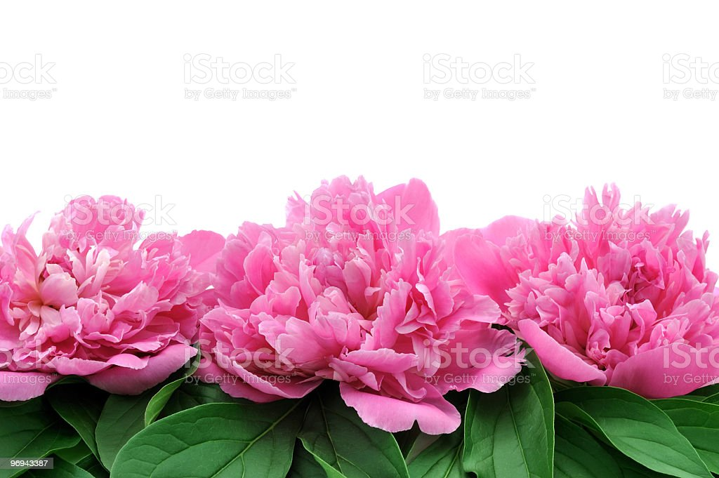 Peony flower heads over white background royalty-free stock photo