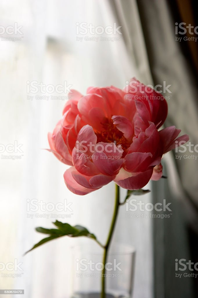 Peony flower in front of the window stock photo