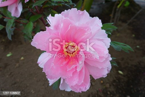 One delicate pink peony flower. Peonies on the flower bed