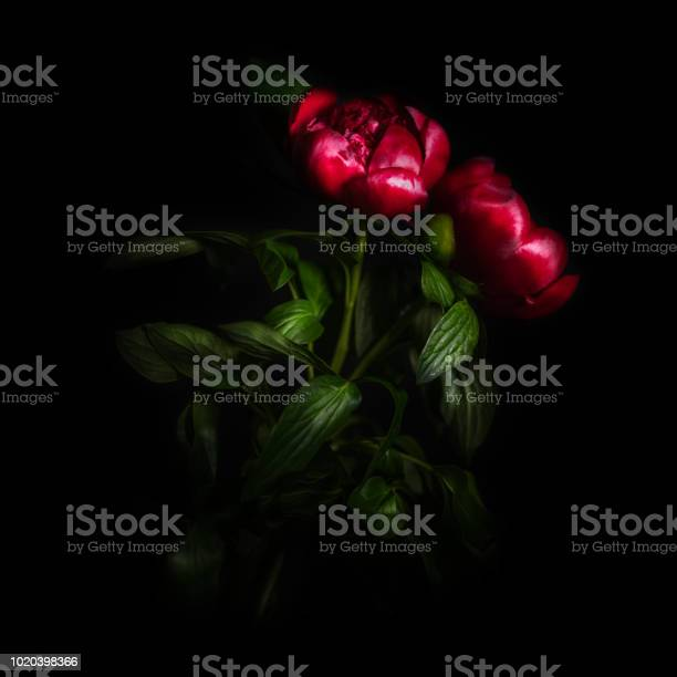 Peony flower isolated on black background picture id1020398366?b=1&k=6&m=1020398366&s=612x612&h=tzbykg7hvbs qjsj9mzriqo7vee3txcwhozslnekhas=