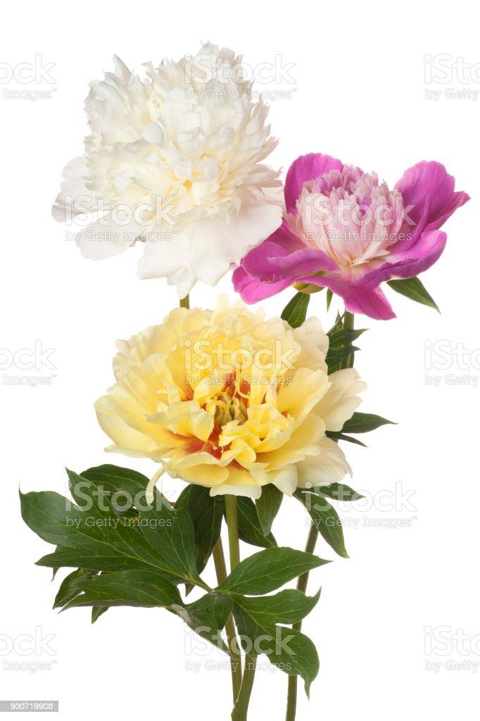 peony flower isolated on white stock photo