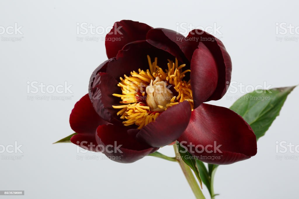 a peony flower of a rare sort of dark burgundy color isolated on a