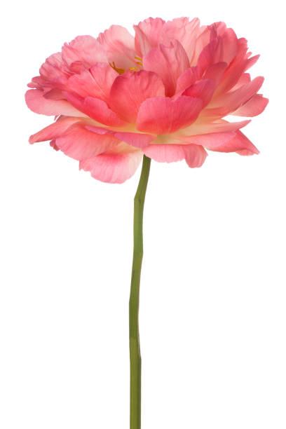 Peony flower on white picture id978313932?b=1&k=6&m=978313932&s=612x612&w=0&h=plvake9vvjniqga4werqkc8qfm39sz5gqp6mciioh1e=