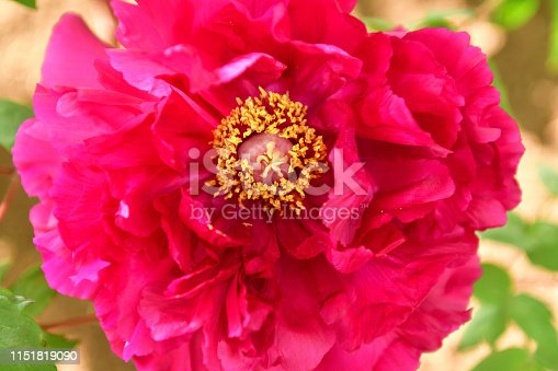 Peony is flowering plant, which is a long-lived perennial with shades ranging from red to pink, purple, yellow and white. The bloom time is from late spring to early summer.