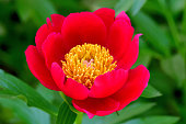 Peony is flowering plant, which is a long-lived perennial with shades ranging from red to pink, purple, yellow, orange and white. The bloom time is from late spring to early summer.
