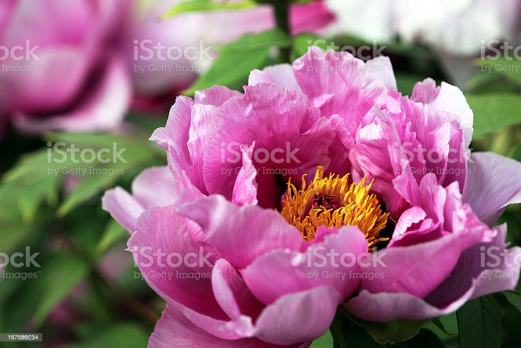 Peony flower royalty-free stock photo