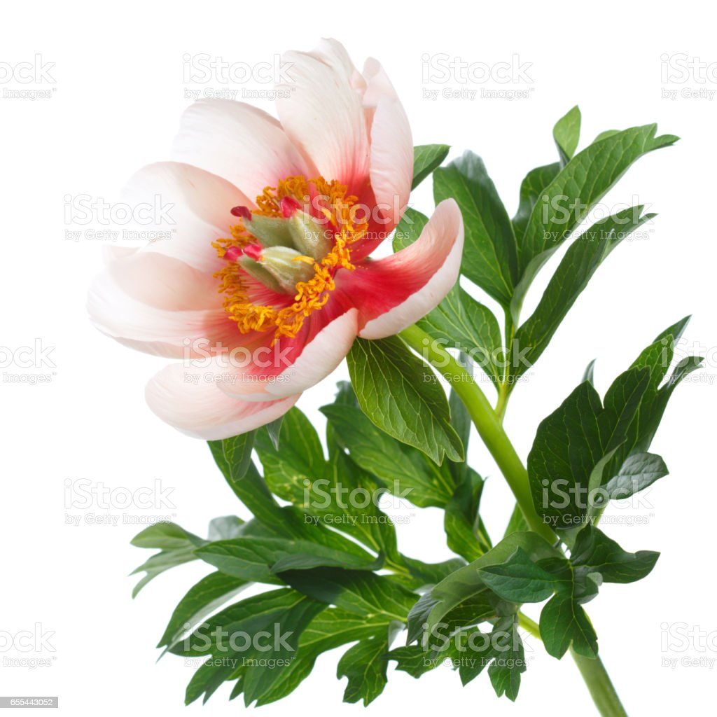 Peony Flower With Leaves Unusual Bright Colors Isolated On White