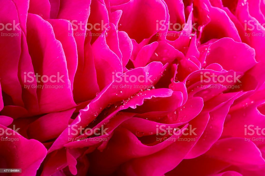 Peony Flower With Water Drops stock photo