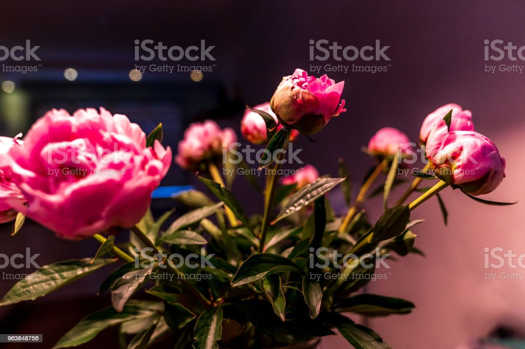 Peony flowers in light - Royalty-free Backgrounds Stock Photo