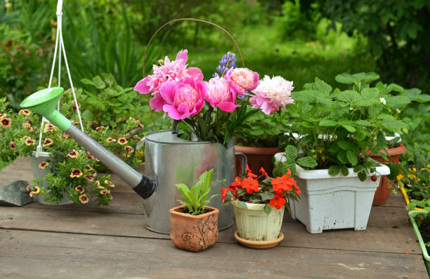 Peony flowers in watering can, strawberry sprouts and flowers in pots on planks. stock photo