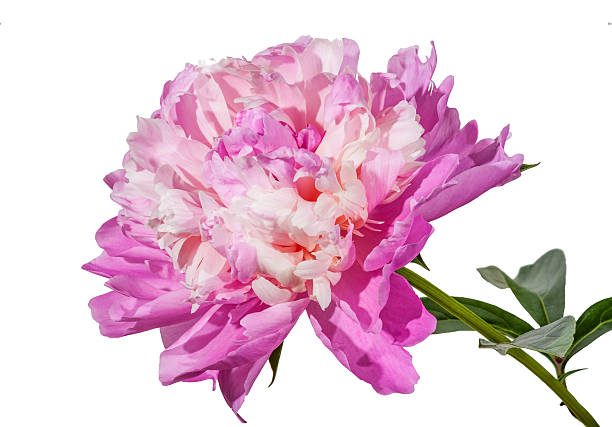 Peony flowers isolated on white background. Clipping path