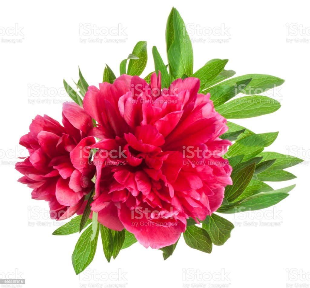 Peony flowers isolated on white - Royalty-free Beleza Foto de stock