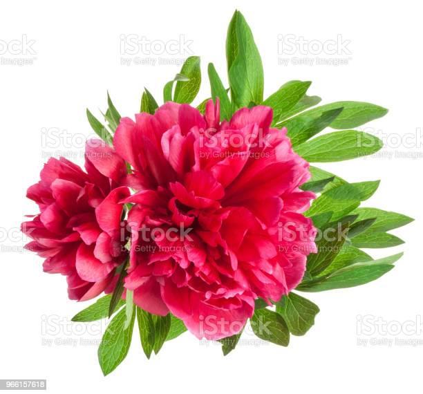 Pion Blommor Isolerad På Vit-foton och fler bilder på Alla hjärtans dag