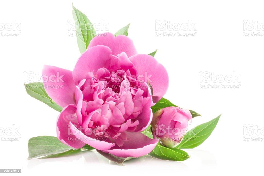 Bloemen van de pioenroos geïsoleerd op wit - Royalty-free Blad Stockfoto