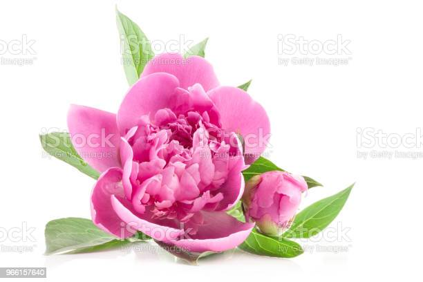 Bloemen Van De Pioenroos Geïsoleerd Op Wit Stockfoto en meer beelden van Blad