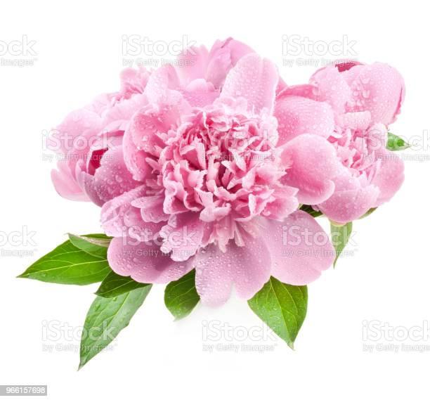 Pfingstrose Blumen Isoliert Auf Weiss Stockfoto und mehr Bilder von Baumblüte