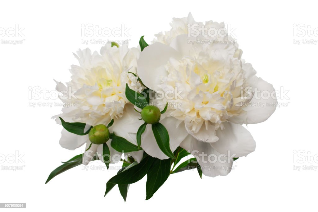 Peony Flowers Isolated On White Stock Photo More Pictures Of