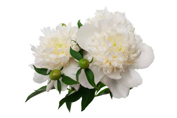 Pfingstrose Blumen isoliert auf weiss – Foto