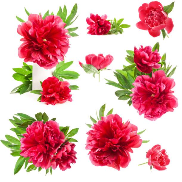 Peony flowers isolated on white picture id981568050?b=1&k=6&m=981568050&s=612x612&w=0&h=yidmnf7ewvgfnt3jckbopzsjjvl3atmutsm290hr aw=