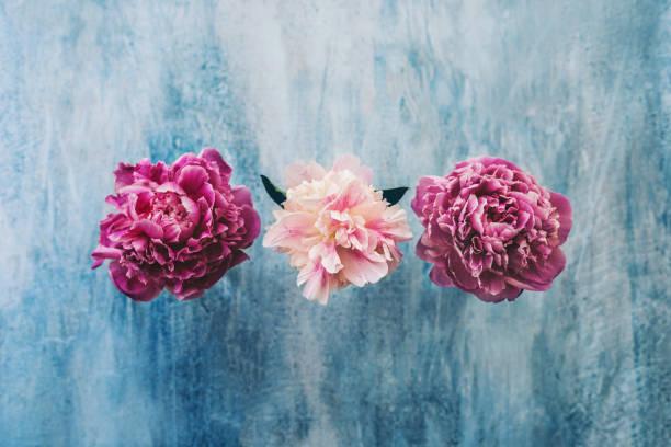 Pfingstrose Blumen auf blauem Hintergrund rustikal – Foto