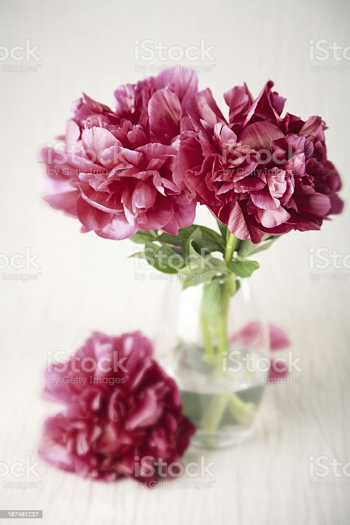peony flowers royalty-free stock photo