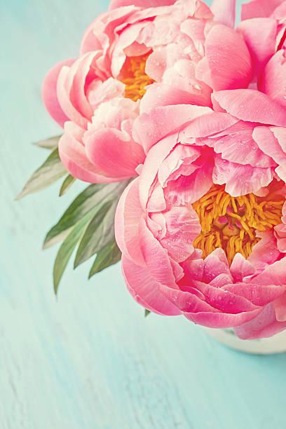 Peônia flores - foto de acervo