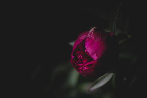 Pivoine - Fleur, Affiche, Flore,Québec, Saint-Hugues, Saint-Hyacinthe, Fleur - Flore