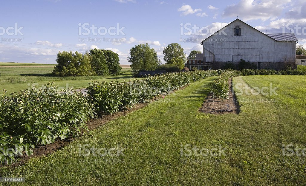 Peony Hedge and a Barn stock photo