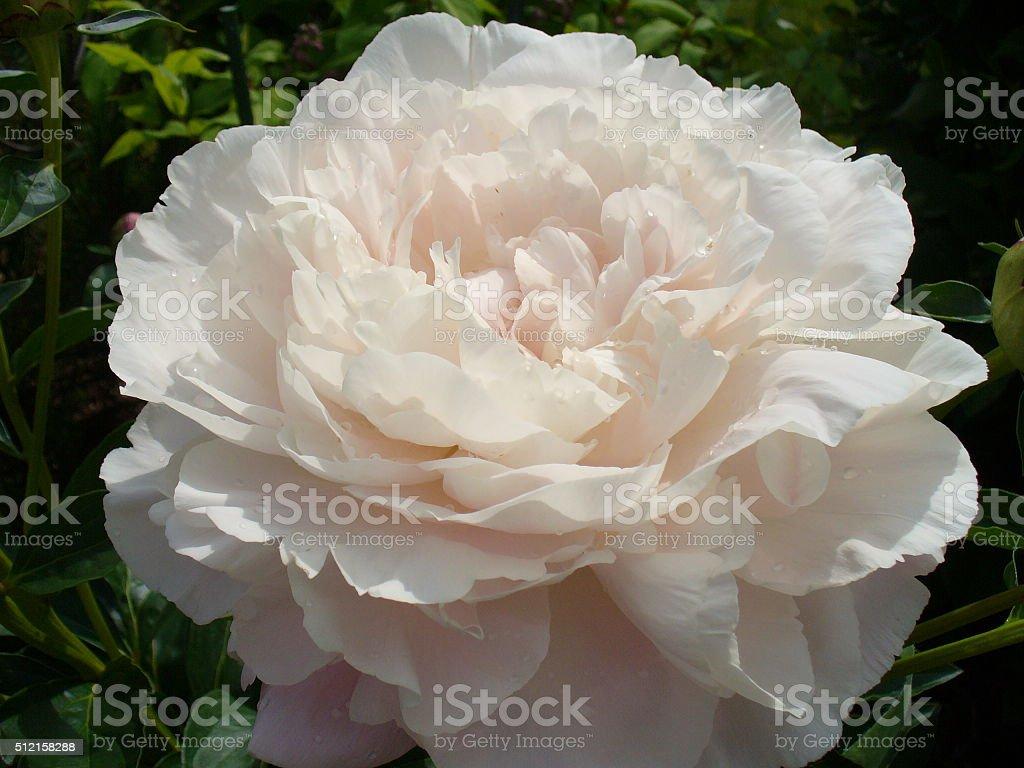 Peony in Bloom stock photo