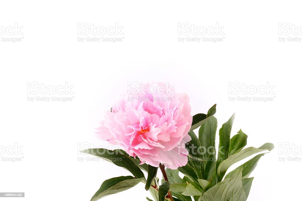Peony isolated on a white background light pink stock photo