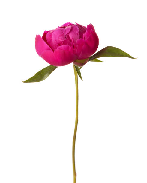 Peony isolated on white background focus on center of flower picture id827064554?b=1&k=6&m=827064554&s=612x612&w=0&h=m0mr9ml6mmgyscvacbfxivz9q2zfcg2ajluj5 xtwei=
