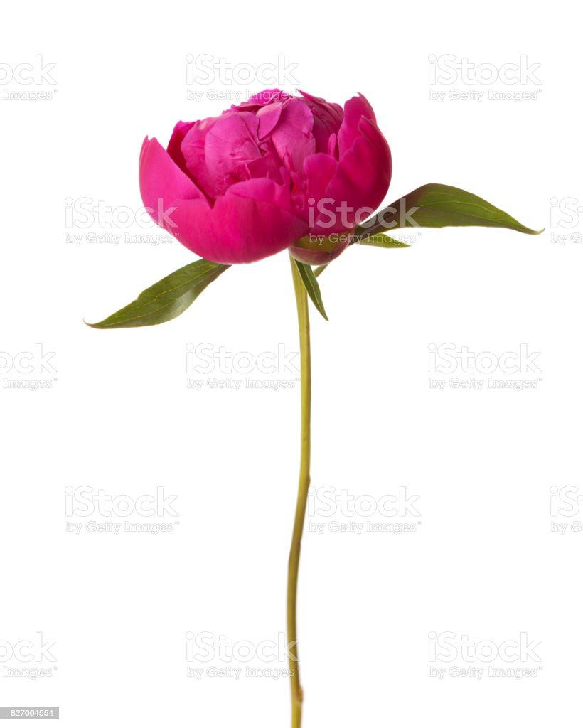 Peony isolated on white background. Focus on center of flower stock photo