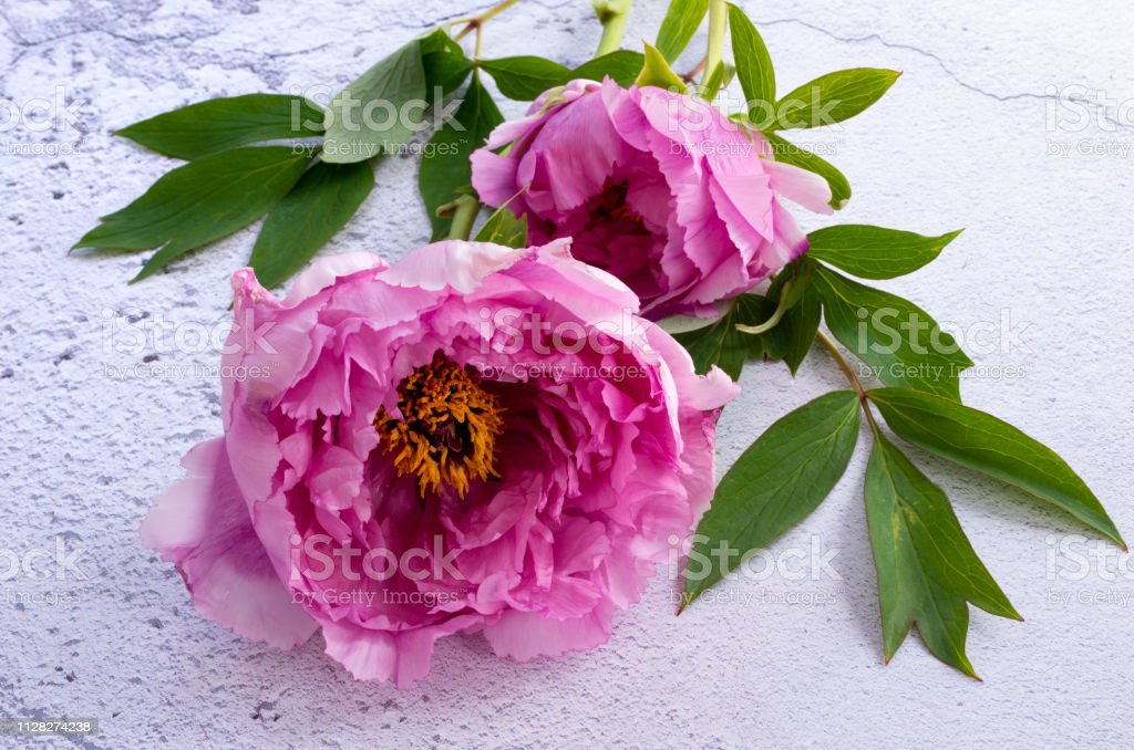 Peony on white plaster background stock photo