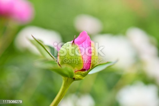 Peony. One rosebud of peony against a green background in the garden. The flowers bloom