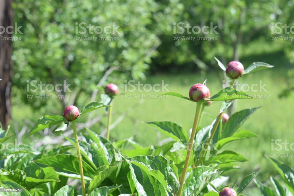 Peony or paeony (Paeonia) flower buds among green leaves - Royalty-free Alternative Energy Stock Photo