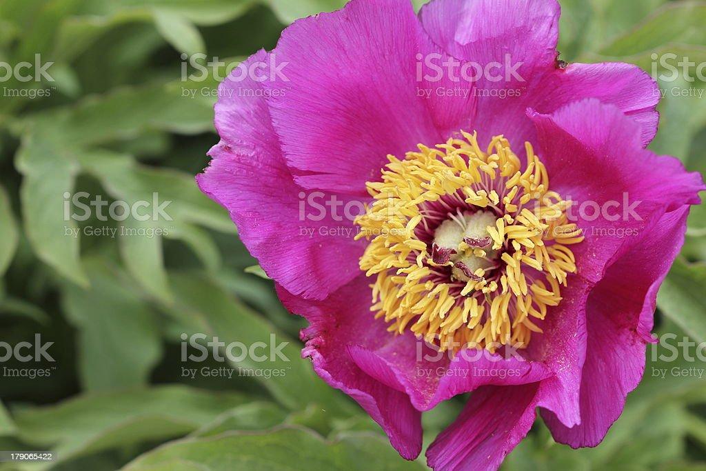 Peony Paeonia pink stock photo