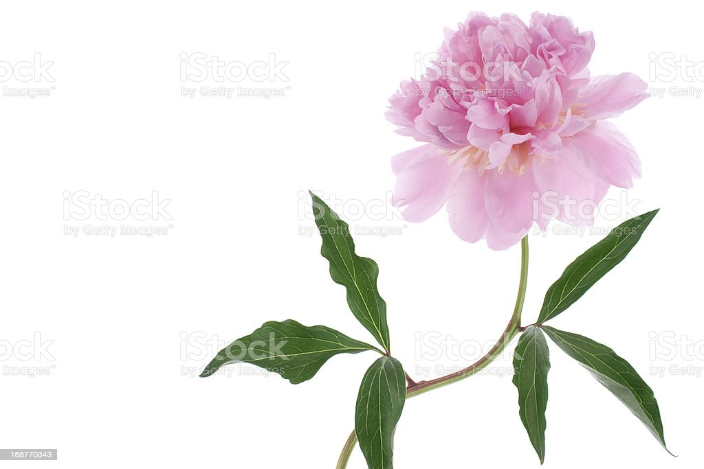 peony royalty-free stock photo