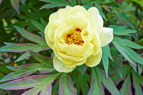 Peony A yellow peony. saxifragales stock pictures, royalty-free photos & images