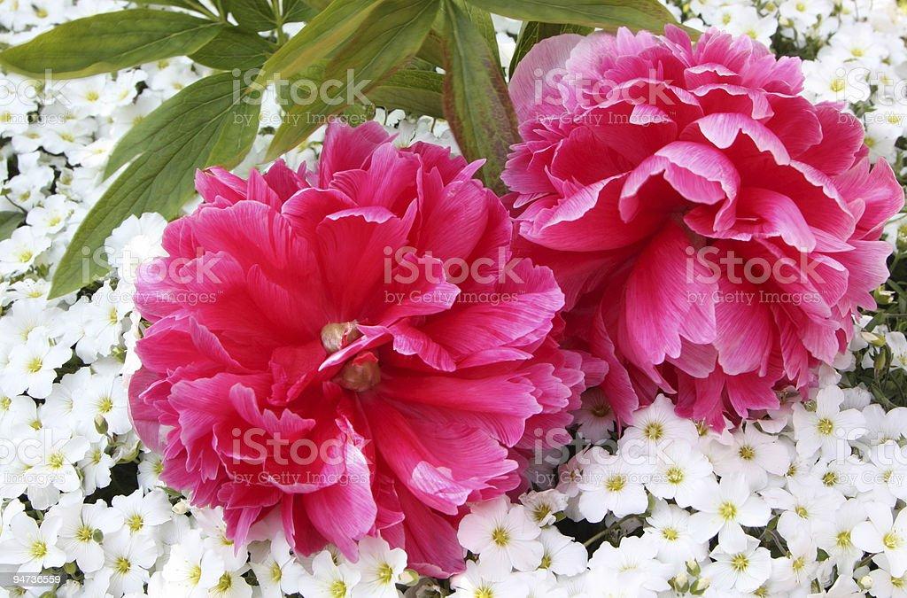 peony roses royalty-free stock photo