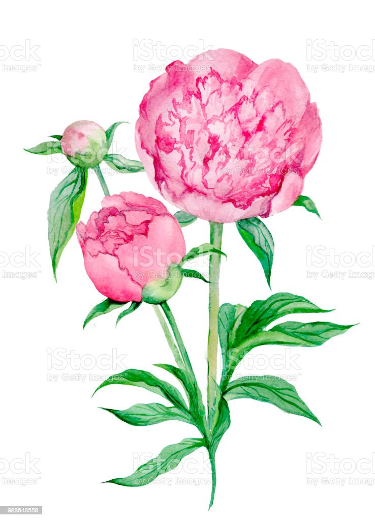 peony watercolor isolated stock photo