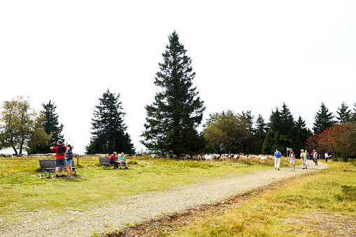 People and sheeps on heathland of Kahler Asten
