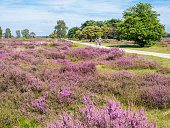 People bicycling through purple heathland, Hilversum, Netherlands
